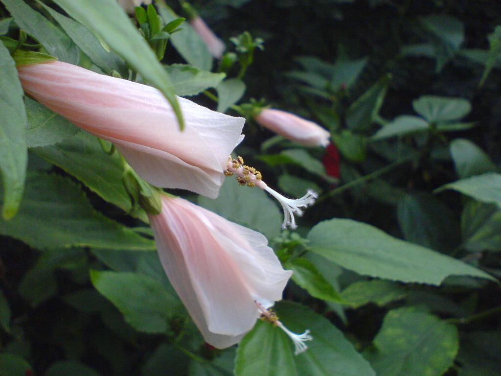 malvaviscus-arboreus-var-rosea
