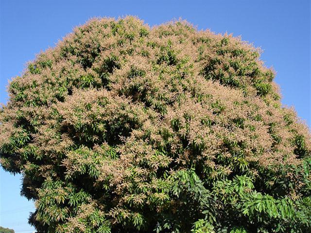 mangueira florida