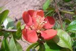 marmelinho ornamental