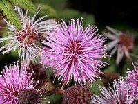 mimosa_flocculosa