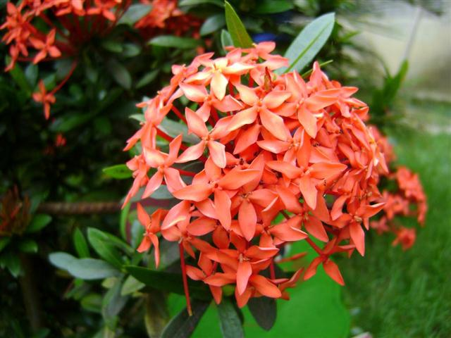 mini-ixora (Small)
