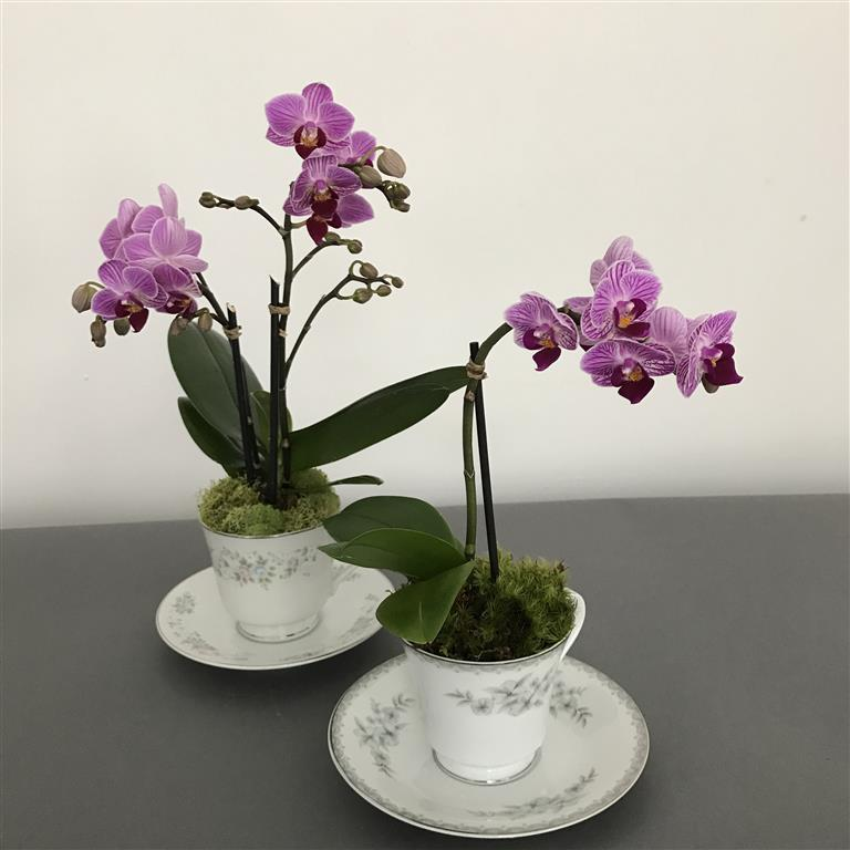 mini phalaenopsis 11