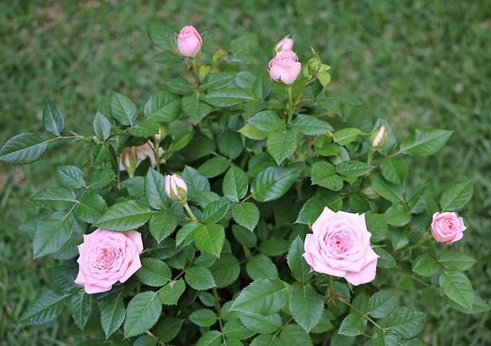 mini-rosa