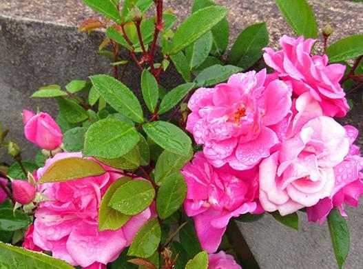 mini-rosa-rosa