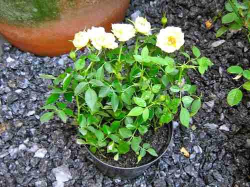 mini-rosas-branca-