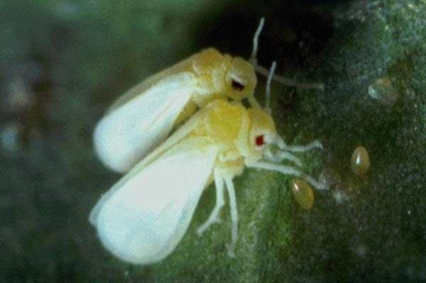 moscabranca