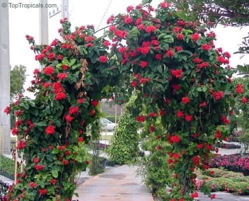 clerodendro-vermelho-clerodendrum-splendens