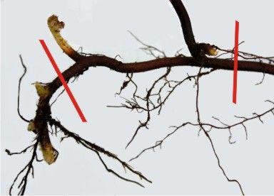 muda de raíz