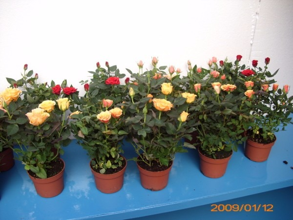 mudas de roseiras