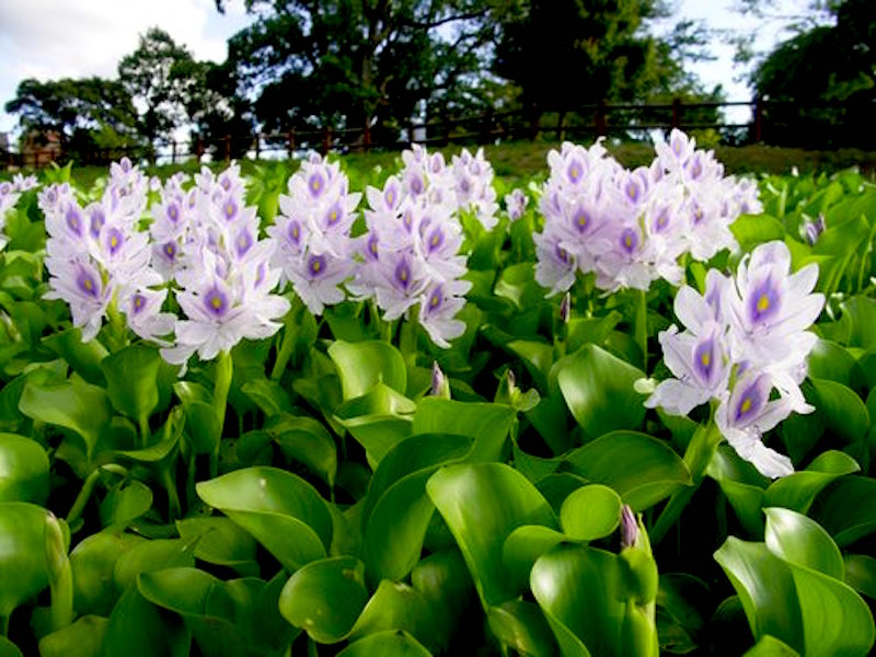 murere -Eichhornia crassipes