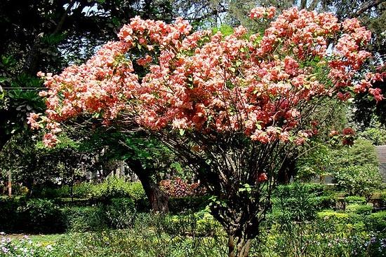 mussaenda-frondosa