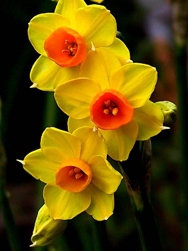 narciso-flor-amarela