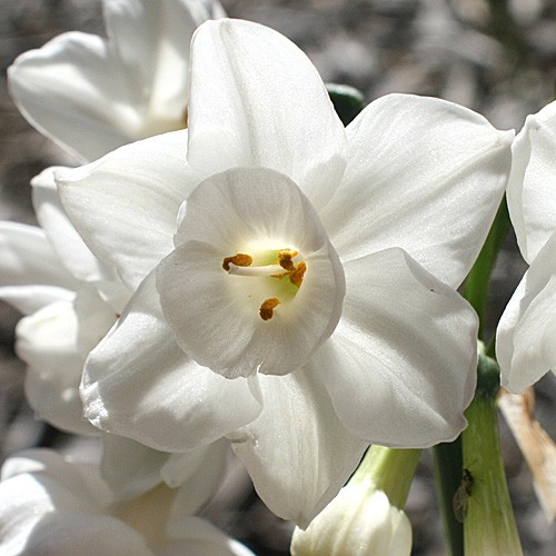 narciso-paperwhite