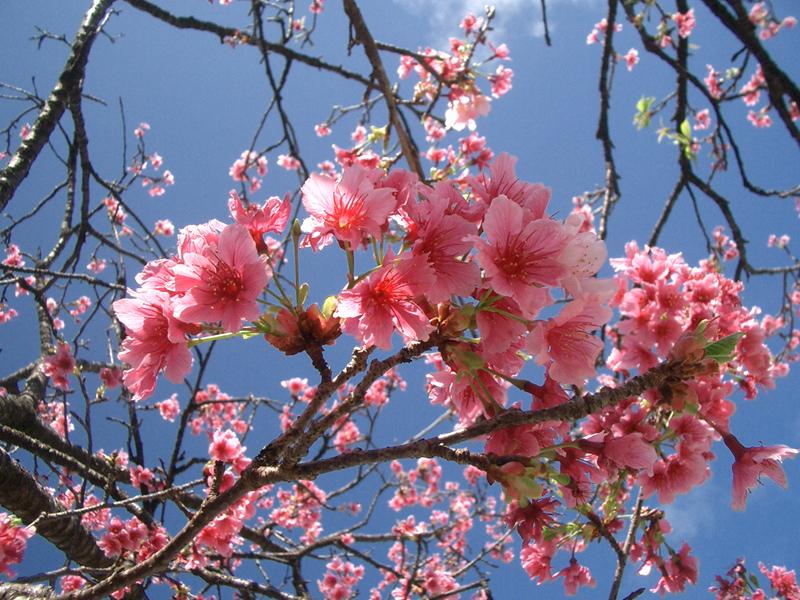 okinawa sakurá