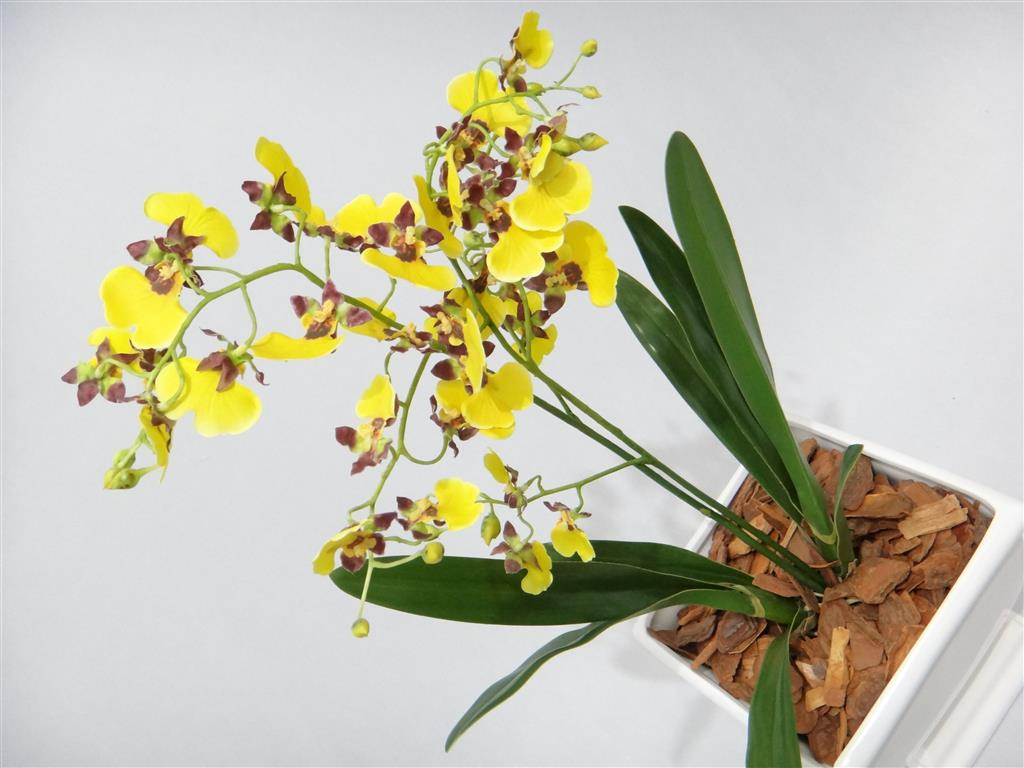oncidium-amarelas (Medium)