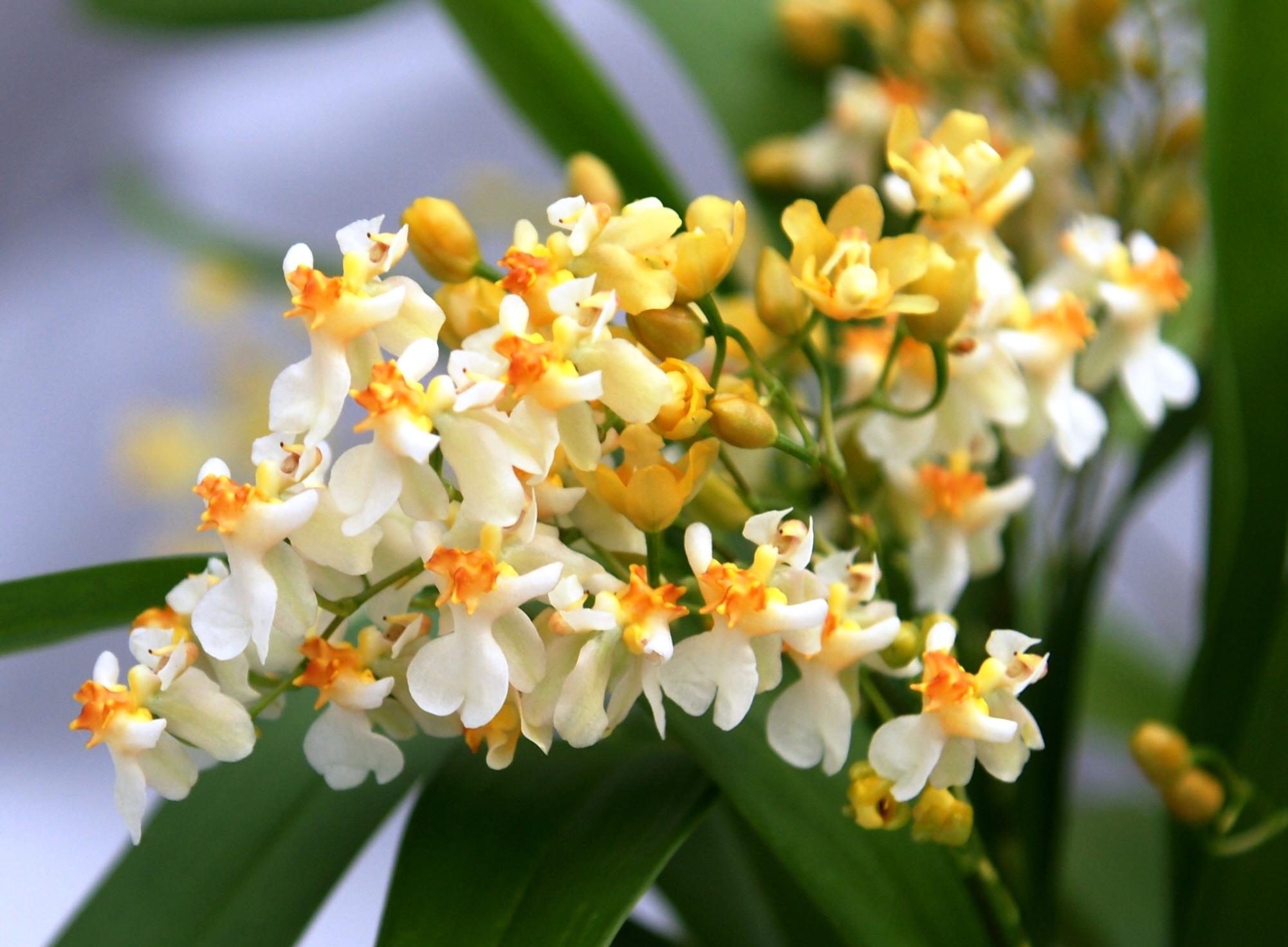 oncidium twinkle jasmin