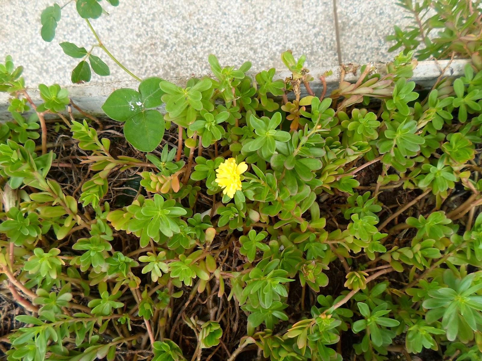 onse-horas (Portulaca grandiflora)
