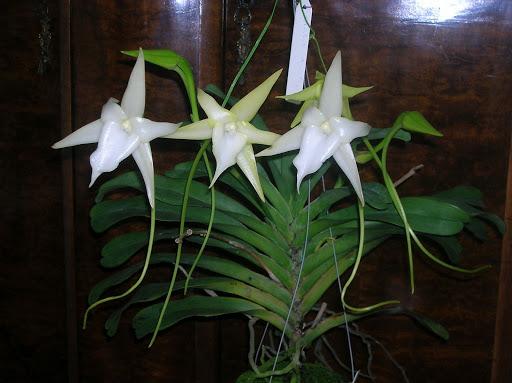 orquídea cometa