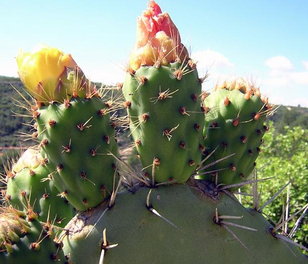 opuntia-ficus-indica-chumbera-nopal