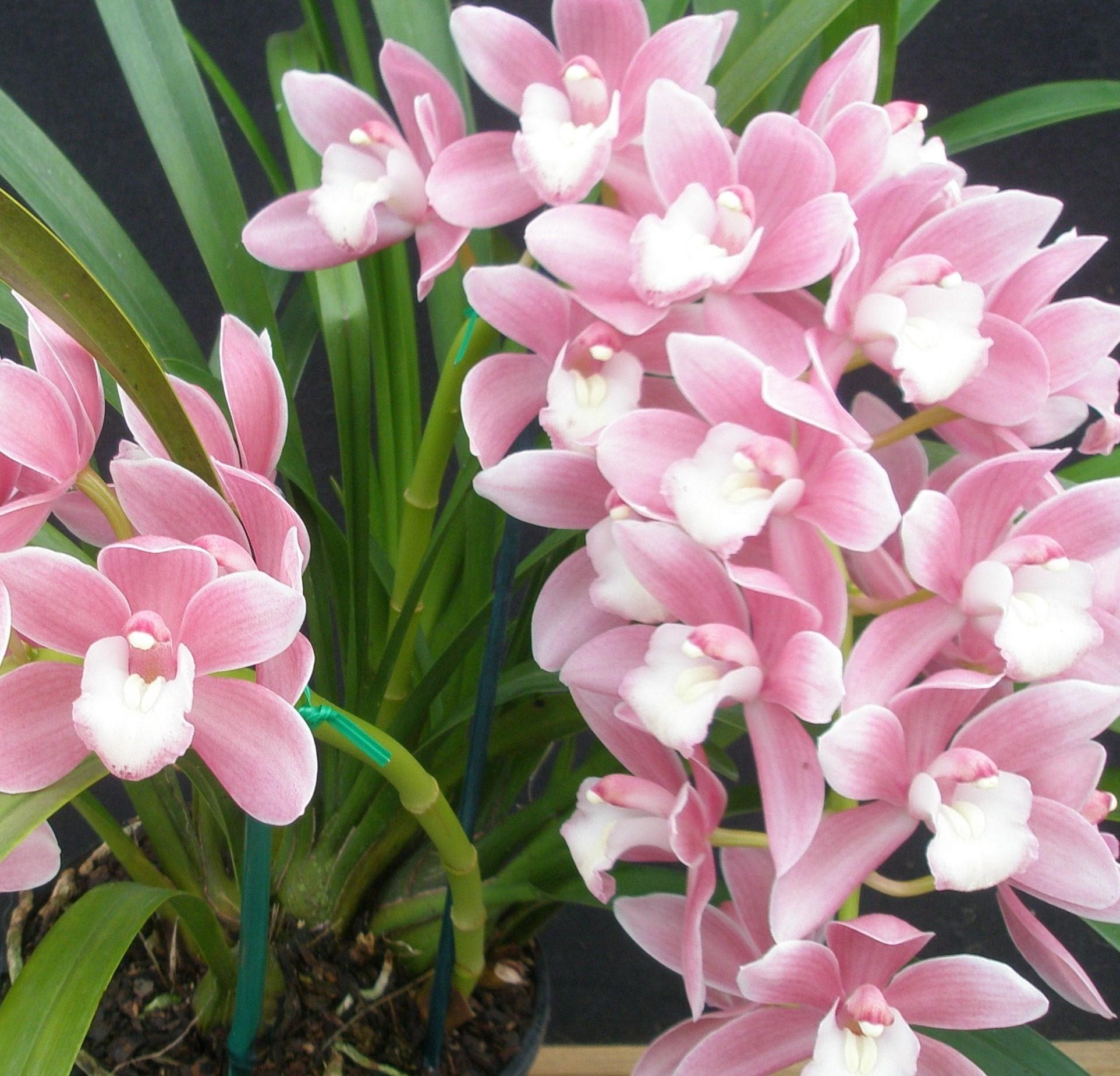 orquíde cymbidium