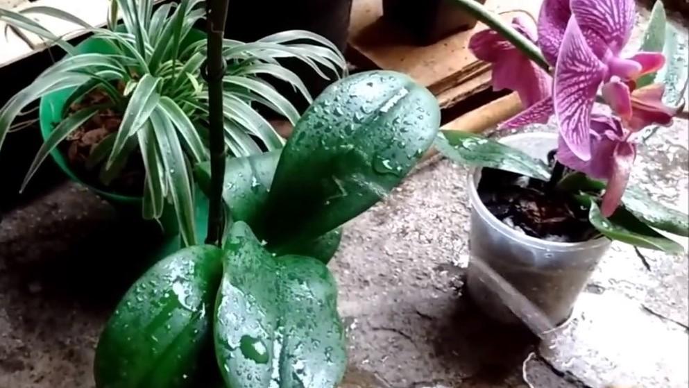 orquíde