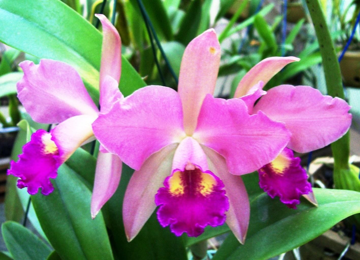 orquídea-33