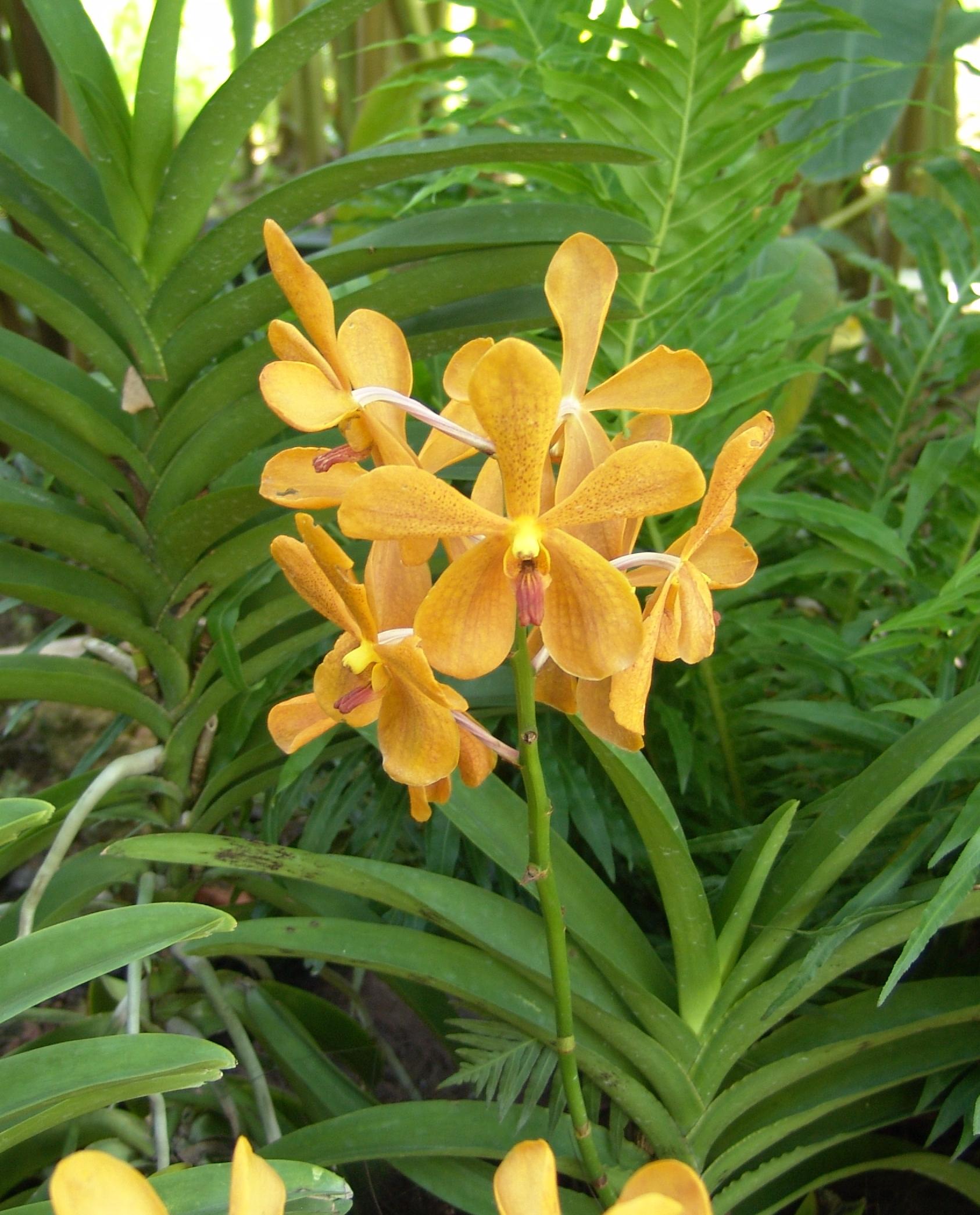 orquídea Mokara