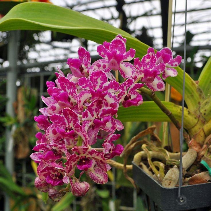 orquídea Rhynchostylis gigantea