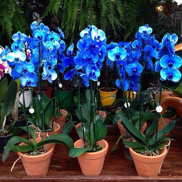 orquídea-azul