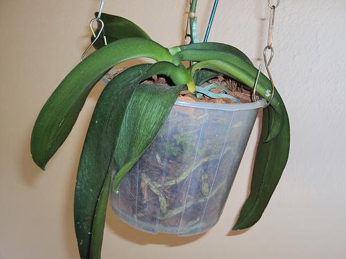 orquídea murcha