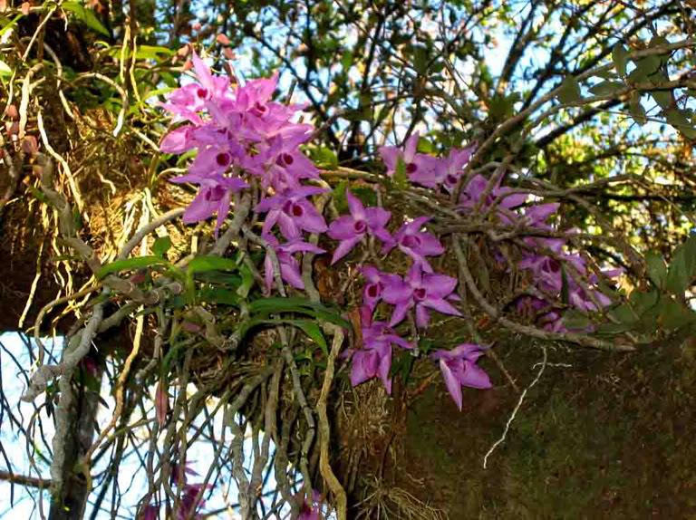 orquídea no habitat