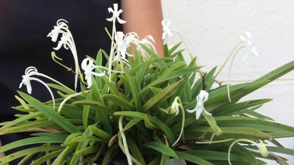 orquídea-samurai