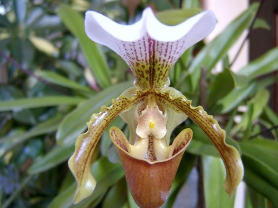 orquídea-sapatinho