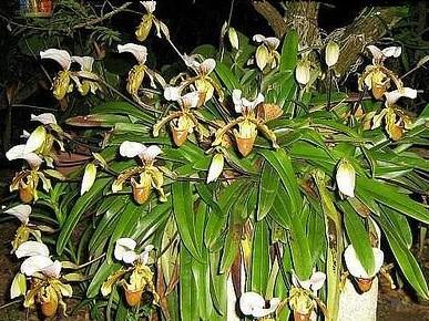 orquídea spatinho