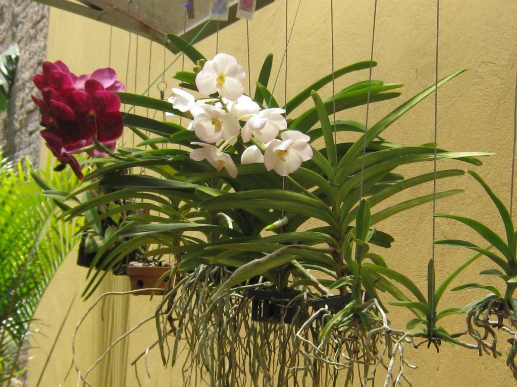 orquídea-vanda-10
