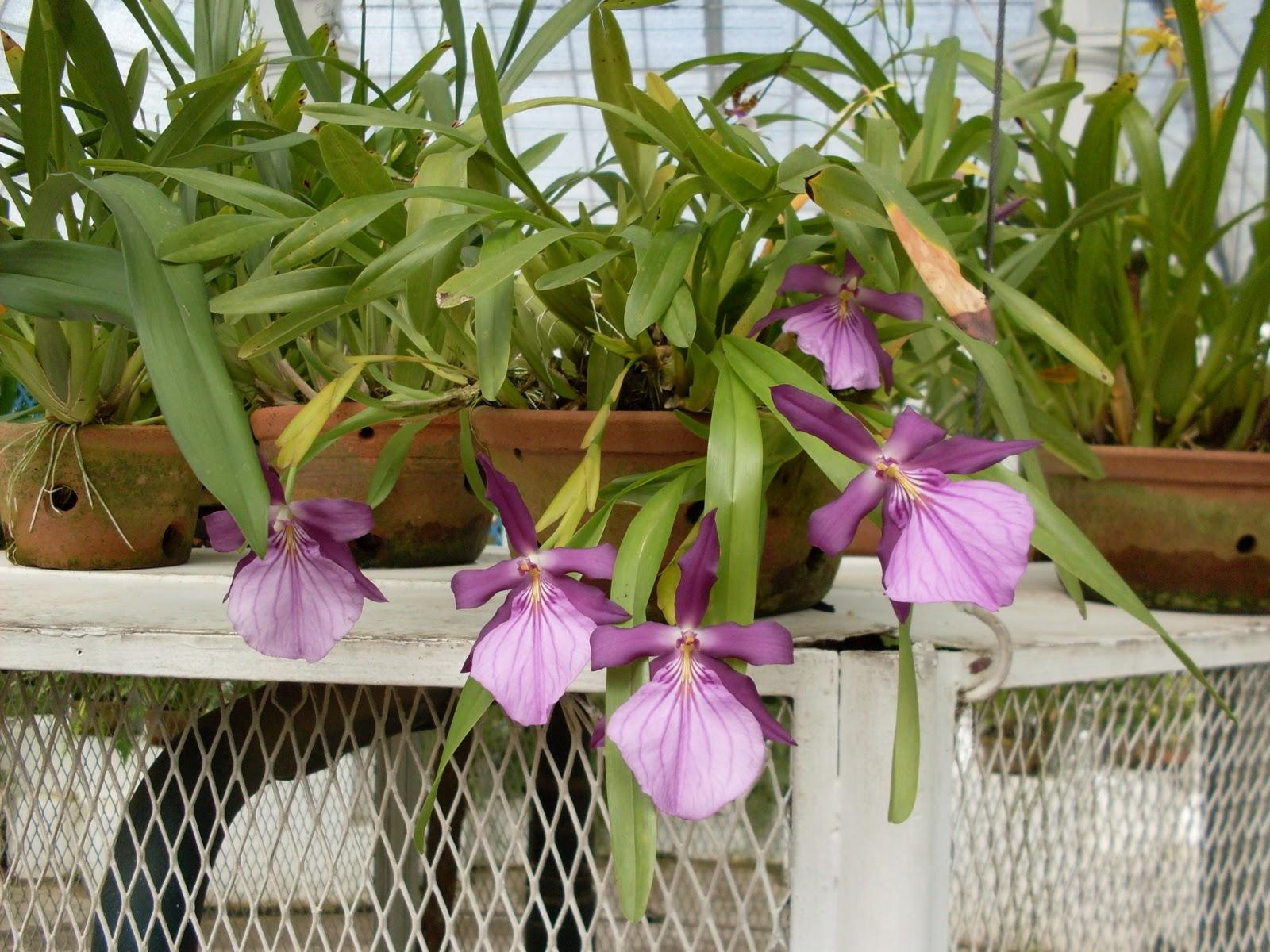 orquídea10 146
