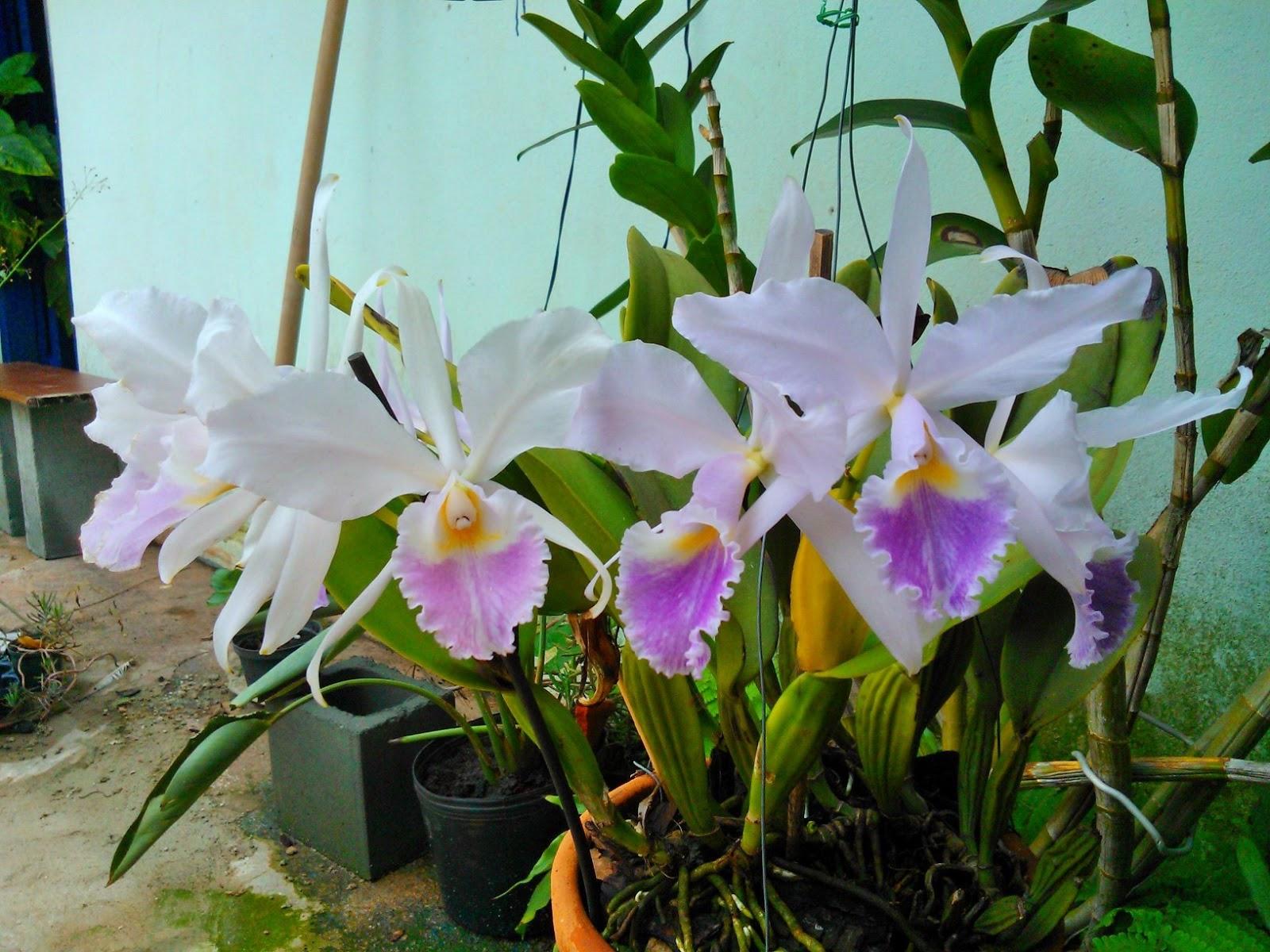 orquídea_3