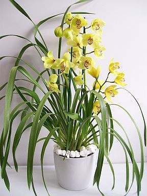orquídeas-cymbidium-2