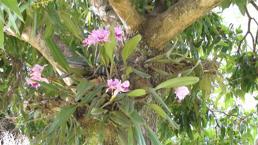 orquídeasemárvore
