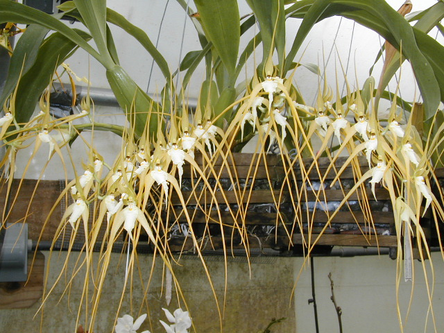 orquidea Brassia caudata
