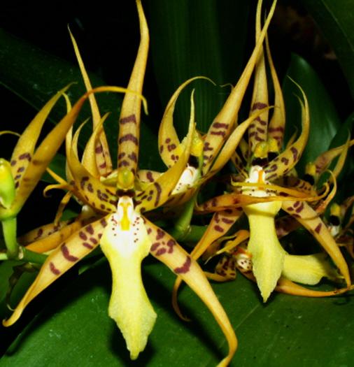 orquidea Brassia lanceana