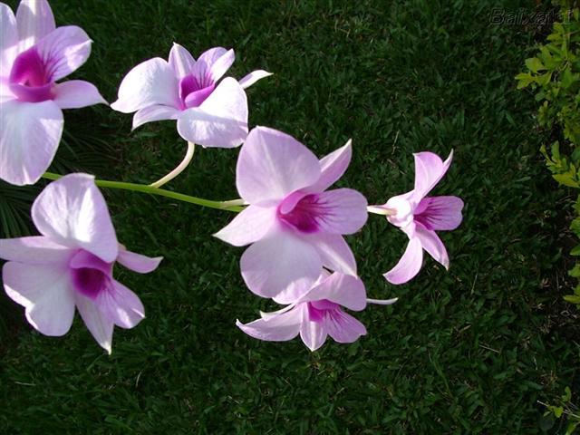 orquidea- (Small)