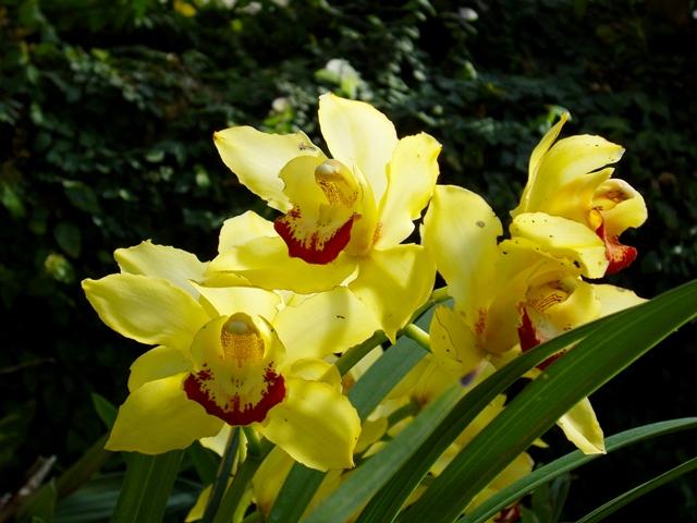 orquidea-amarela