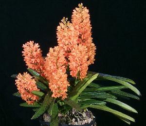 orquidea ascocentrum