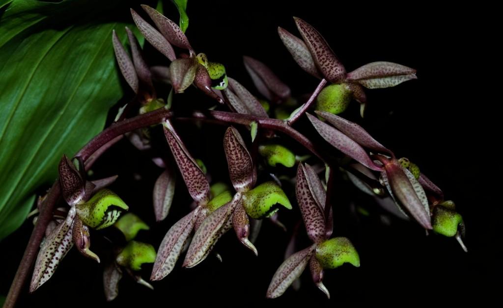 orquidea-catasetum