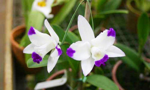 orquidea-cattleya