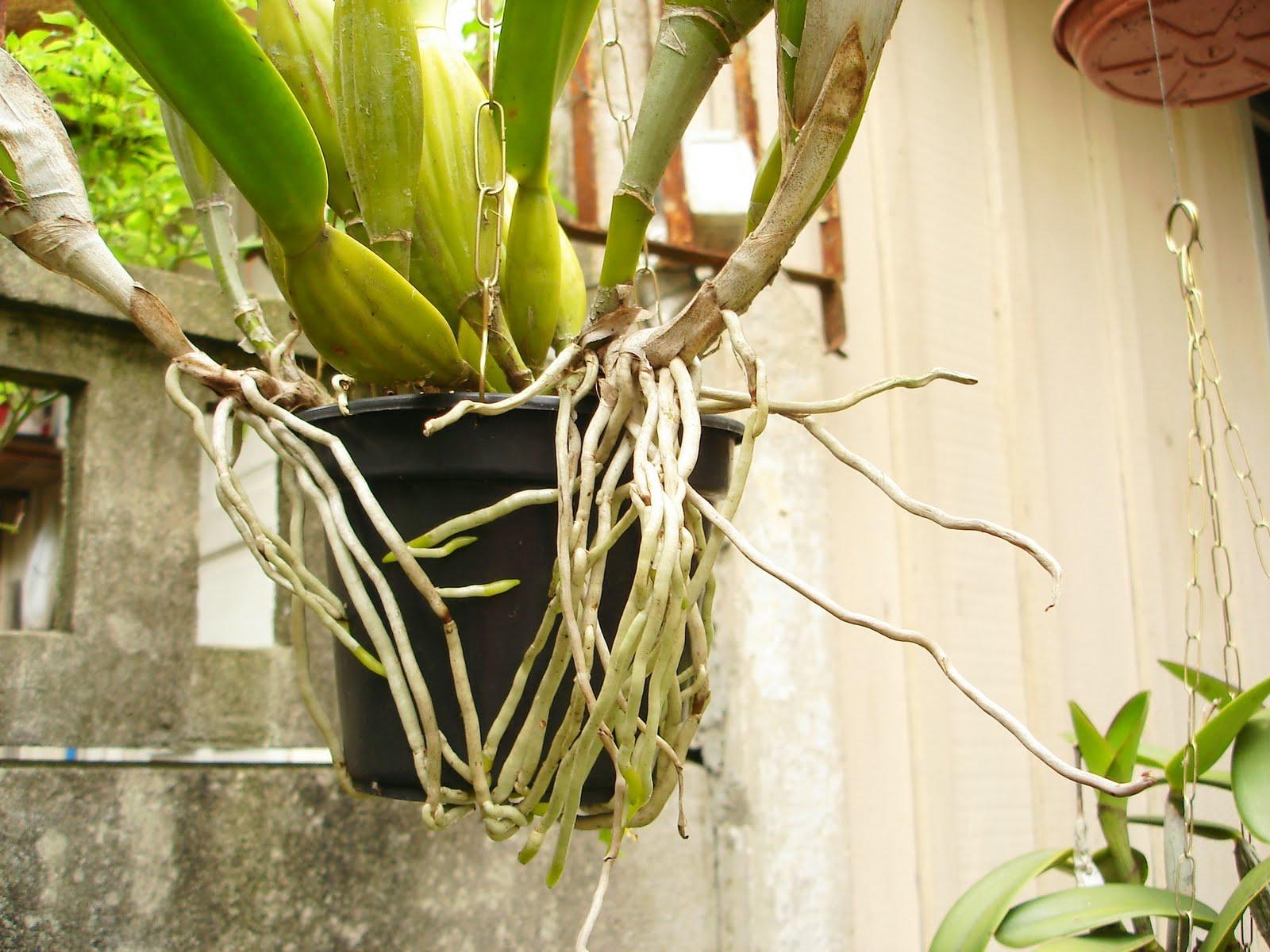 orquidea-com-raizes