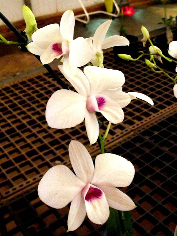 orquidea-dendobrio-compacta