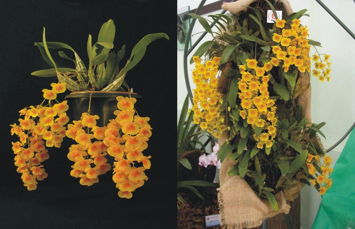 orquidea-dendrobium agregatum