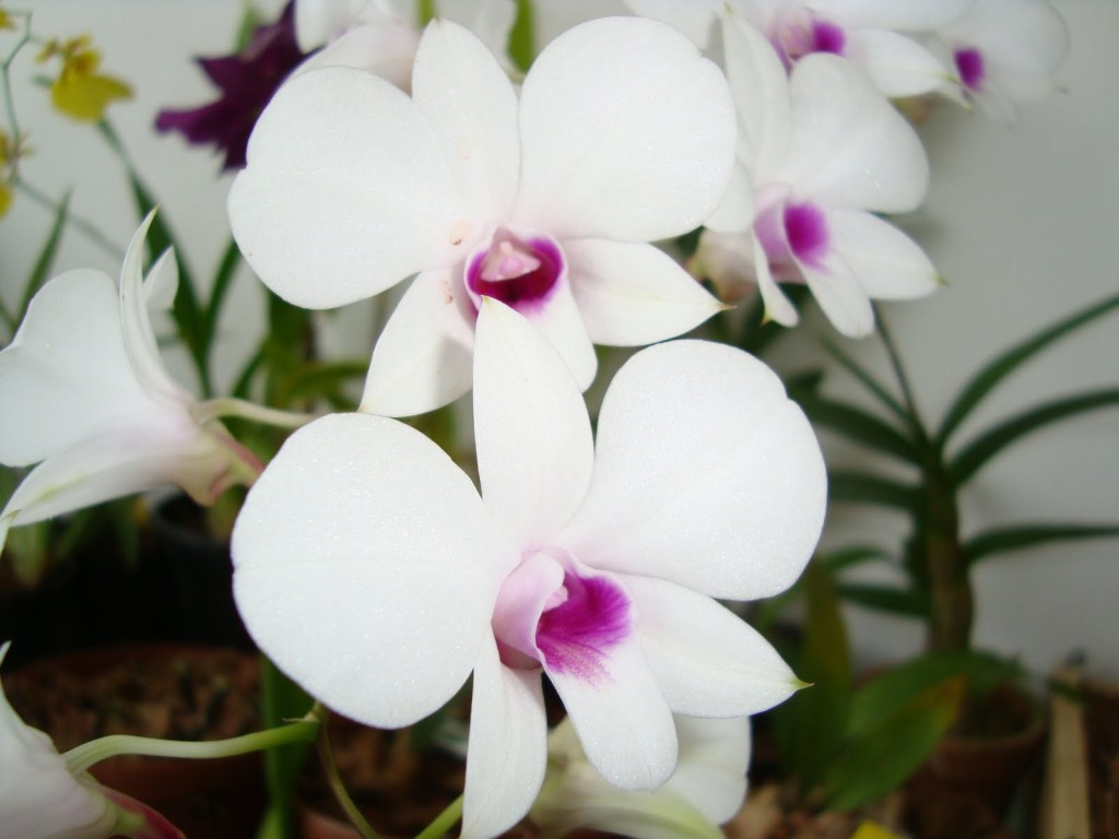 orquidea-denphal